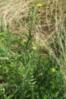 Osteospermum muricatum subsp. muricatum