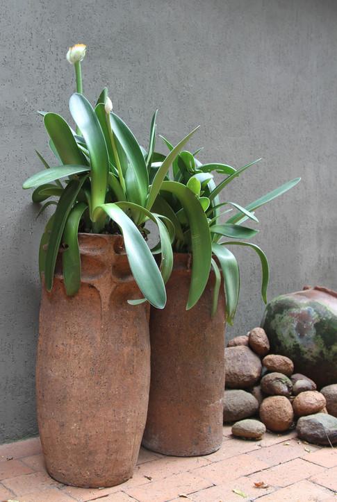 Haemanthus-albiflos-in-clay-pots