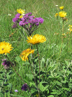 Natural Meadow/ Grasslands Berkheya-