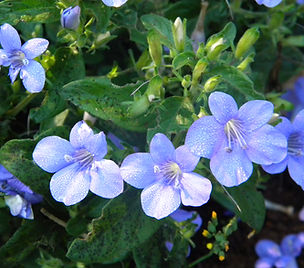 Barleria obtusa Easy-care shrubs