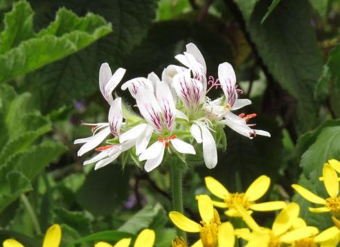 Pelargonium multicaule