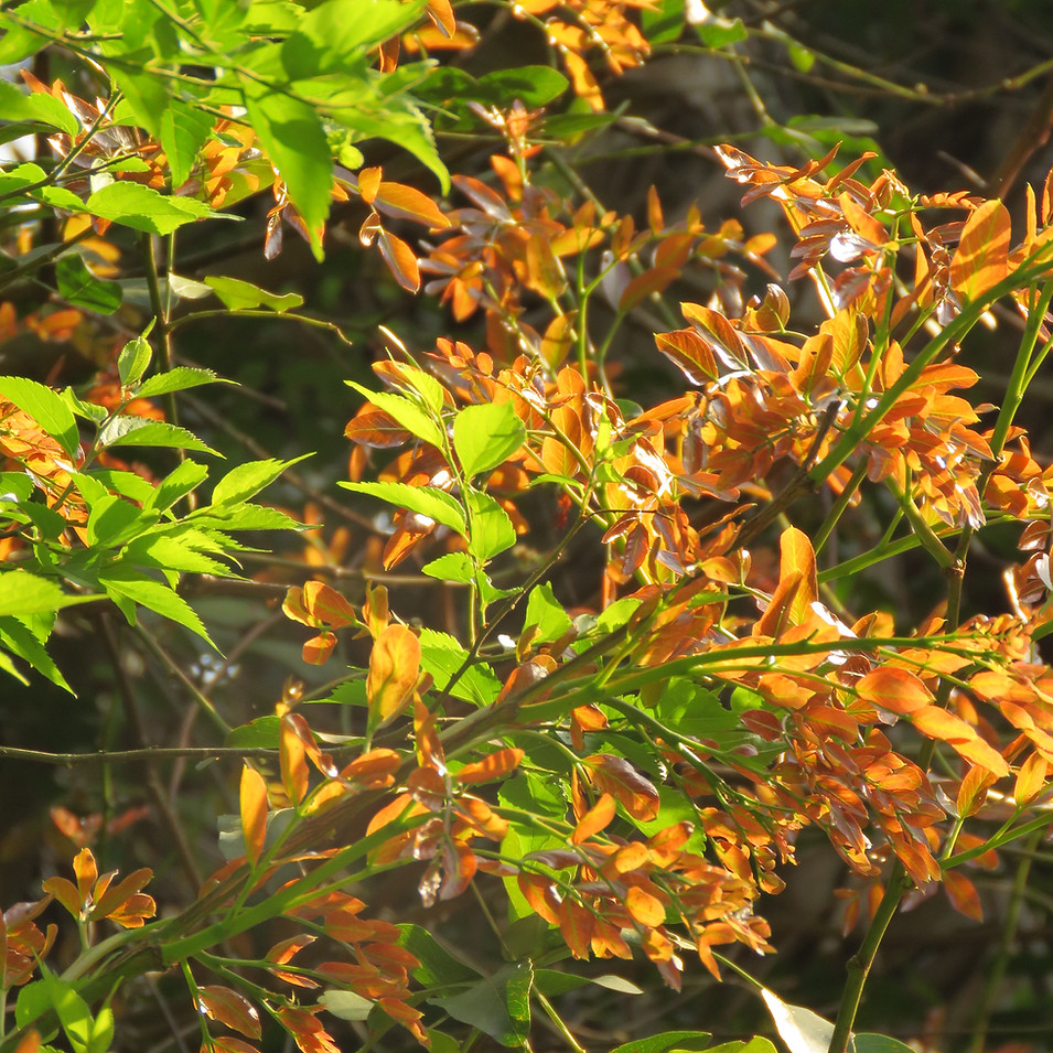 Leaves are bronze in spring