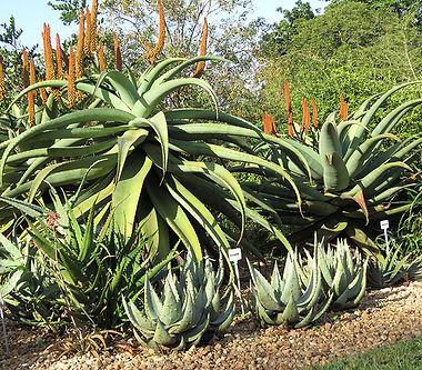 Aloe peglerae and Aloe ferox