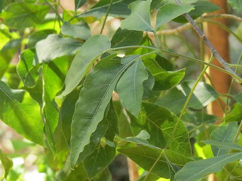 Heteromorpha arborescens