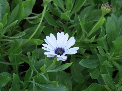 Dimorphotheca-fruticosa