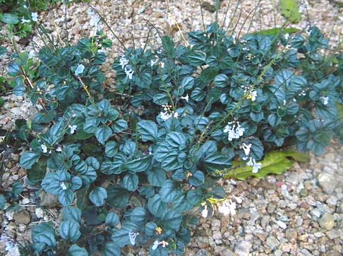 Plectranthus purpuratus