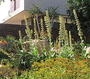 Grewia occidentalis fruit