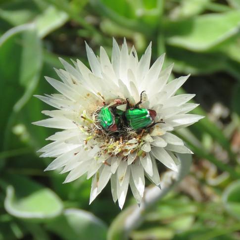 Emerald-green-beetles-on-helichrysum-ecklonis