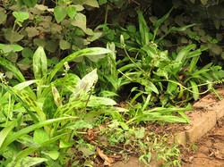 Ledebouria and Plectranthus