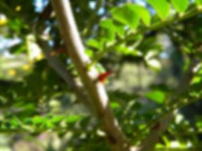 Zanthoxylum capense