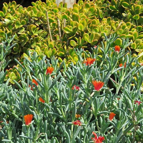 Vygies and Crassula ovata gold