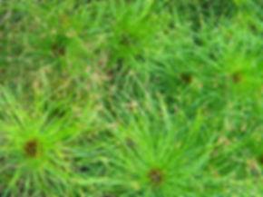 Cyperus prolifer
