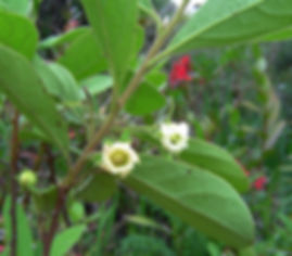 Diospyros lycioides flower Image by Bart Wursten