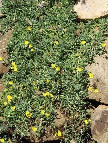 Crassothonna cacalioides