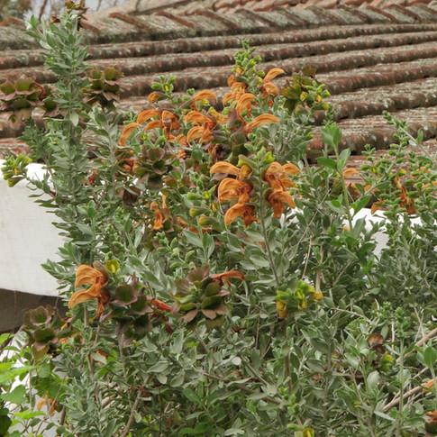 Salvia-africana-lutea.jpg
