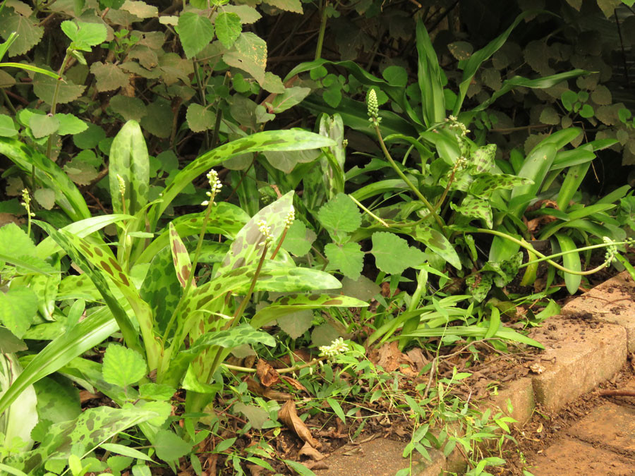Mottled leaves and fine, creeping grass