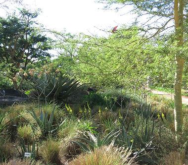Aloe suprafoliata & Bulbine frutescens