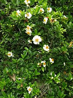 Xylotheca kraussiana