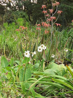 Gerbera ambigua and Aloe chabaudii