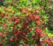 Zanthoxylum capense fruit