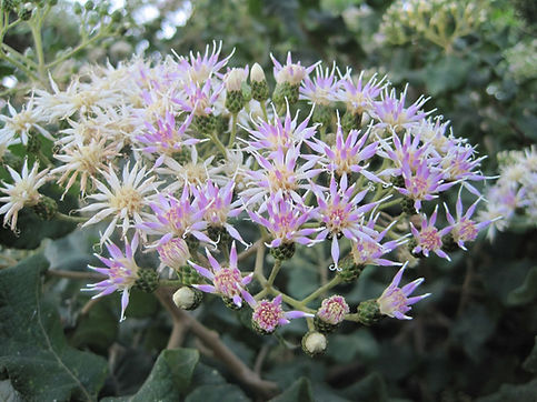 Gymnanthemum coloratum