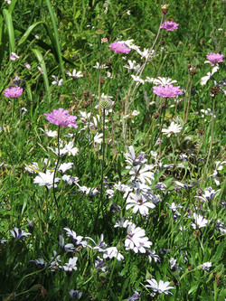 Scabiosa and Dimorphotheca