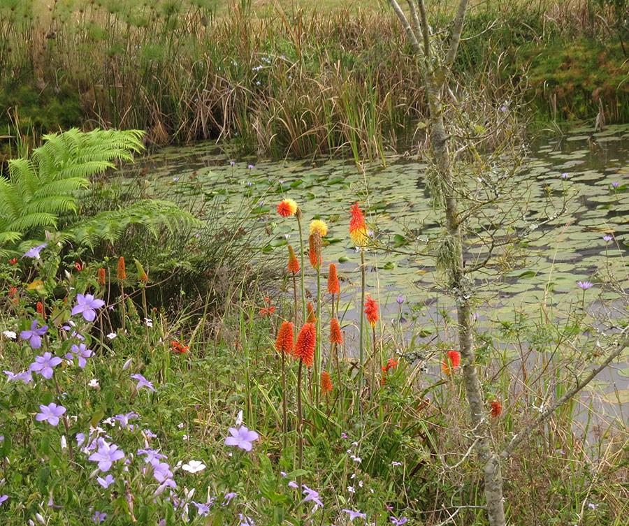 Kniphofia praecox around pond