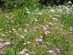 Scabiosa and Geranium incanum