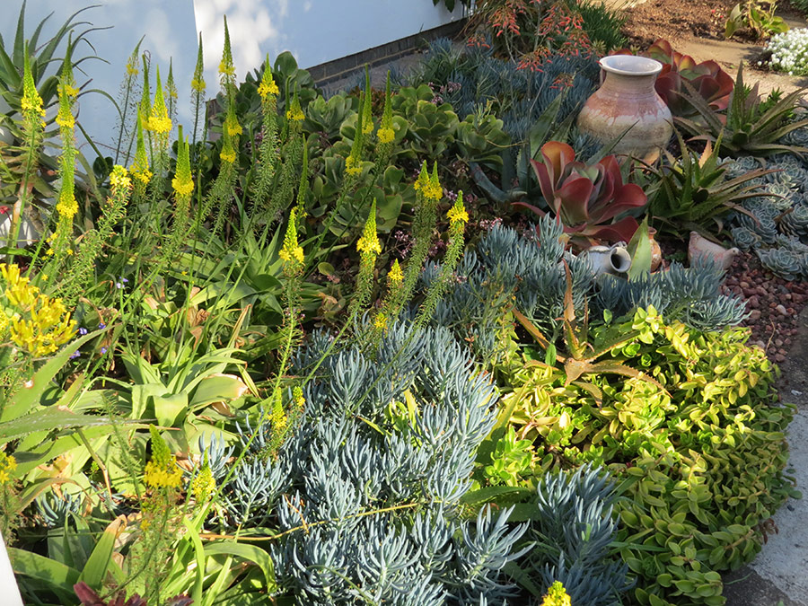 Succulents for Narrow Beds