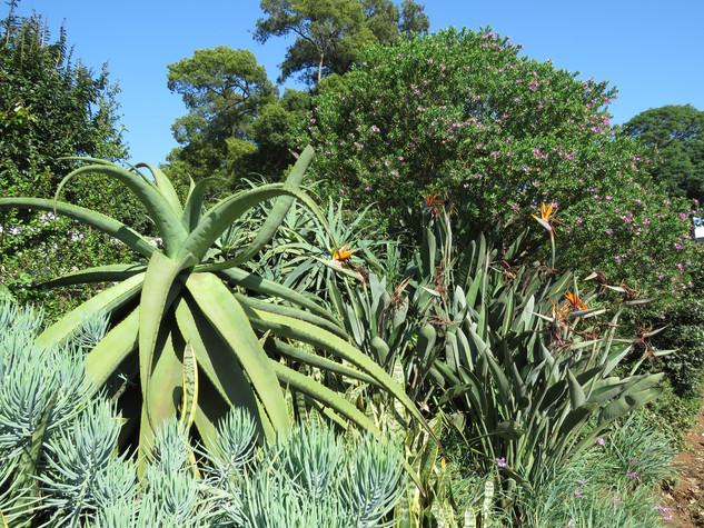 Aloe ferox, Curio, Polygala and Stretlizia