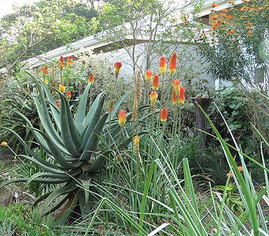 Water feature with Kniphofia