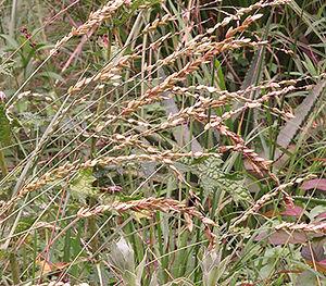 Eragrostis capensis KZN wind barrier