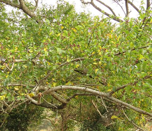 Ziziphus-mucronata-fruits