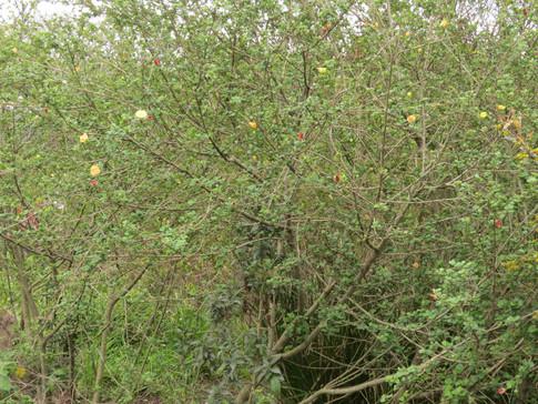 Pavonia-praemorsa