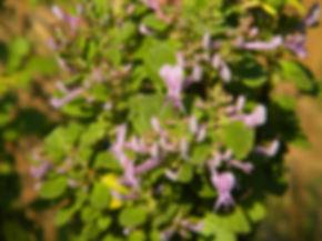 Thorncroftia succulenta