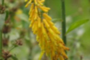 Aloe tenuior