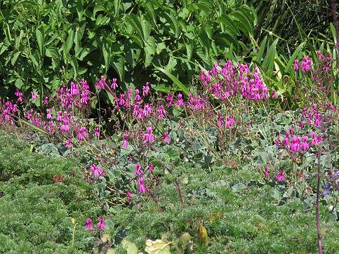 Pelargonium reniforme