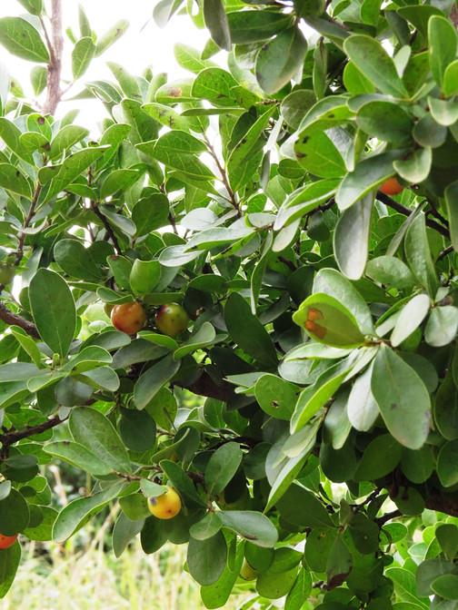 The Indigenous Gardener Web Magazine | Autumn Fruits for Birds