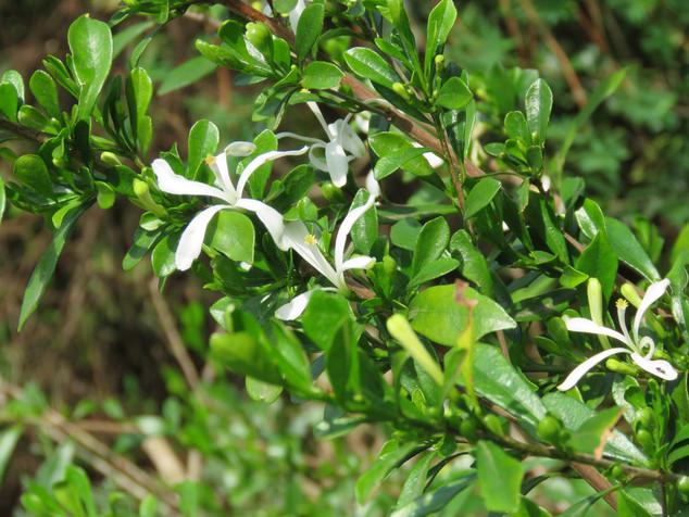 Turraea-obtusifolia