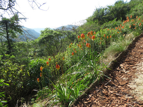 Kniphofia and aloes hold the bank down to the Reserve