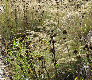 Autumn Setaria and old seed heads for winter interest