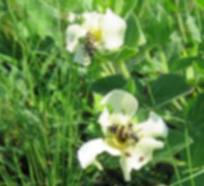 Thunbergia atriplicifolia