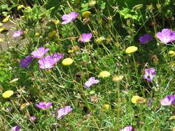 Cotula and Geranium incanum