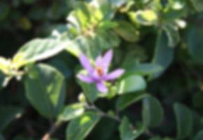 Grewia robusta