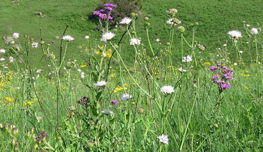 Scabiosa columbaria, Berkheya and Hi