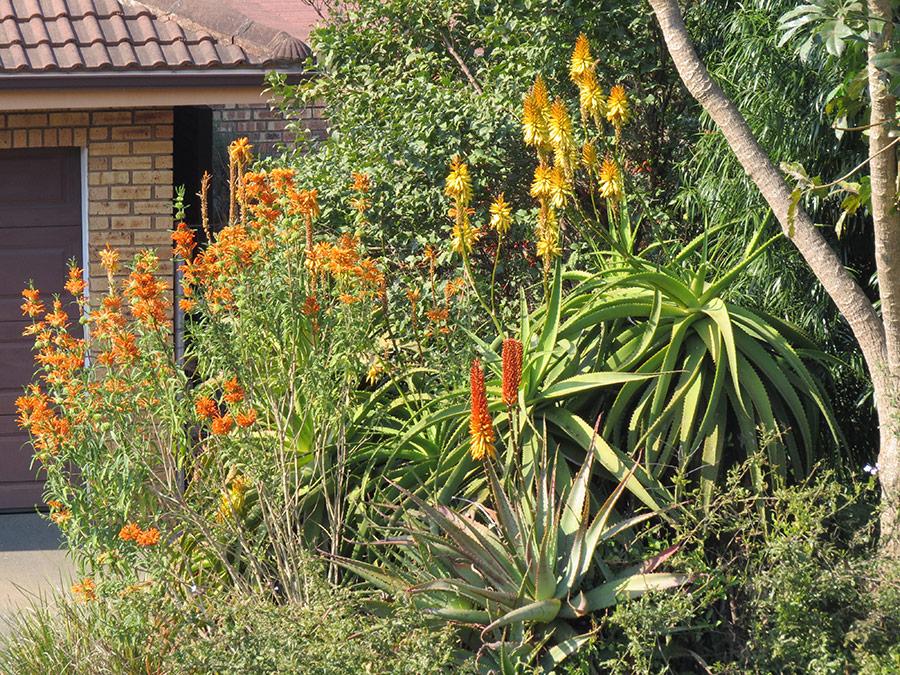 Aloes and Leonotis shrubs