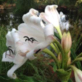 Crinum macowanii