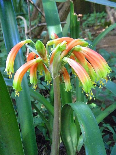 Clivia gardenii