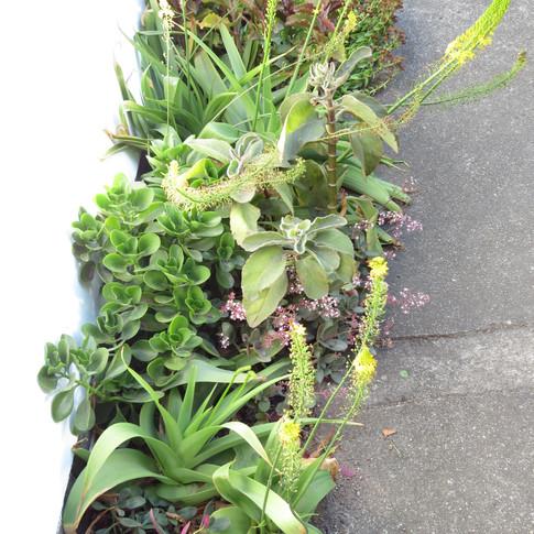A mix of Bulbine latifolia, Crassula and Kalanchoe