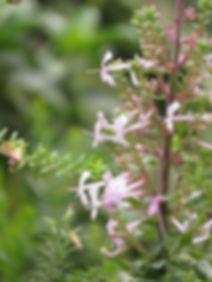 Thorncroftia longiflora